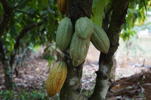 What is the difference between cocoa beans and coffee beans, cocoa plant