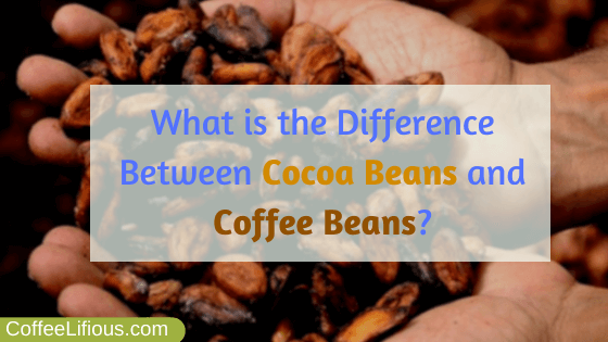 What is the difference between cocoa beans and coffee beans