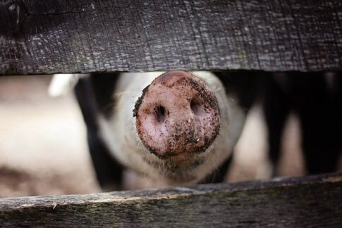 How to dispose of coffee grounds, pig's snout